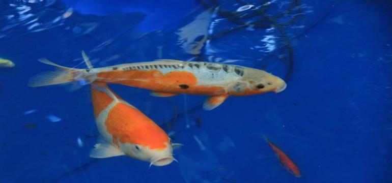Koi gartenteich blog aquapro2000 for Beliebte teichfische