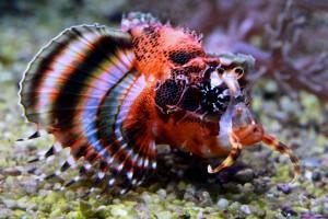 Abbildung Pfauenaugen-Zwergfeuerfisch