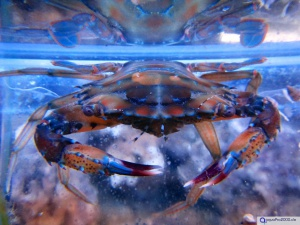 Thalamita coeruleipes - Blaue Schwimmkrabbe