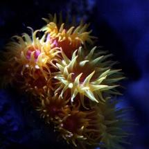 Sonnenkoralle - Tubastraea faulkneri