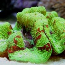 Trachyphyllia geoffroyi - Neongrün