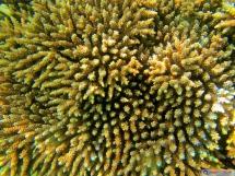 Acropora tricolor- True multicolor Acro coral - Seychellen