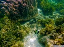 Halfterfisch - Nemos friend Khan the Moorish idol - Zanclus cornutus
