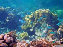 blue Chromis - Chromis viridis - grünes Schwalbenschwänzchen - Seychellen