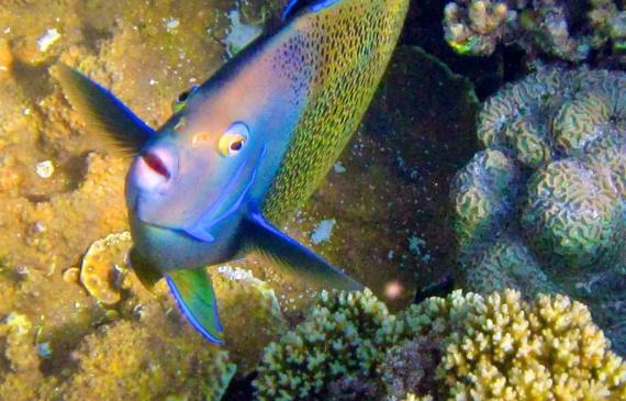 Koran-Kaiserfisch -Semicircle angelfish Pomacanthus semicirculatus - Seychelles