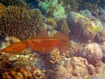 Großflossen-Riffkalmar- Bigfin Reef Squid - Seychelles