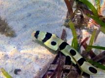Schlangenaal - Seychellen - a snake eel