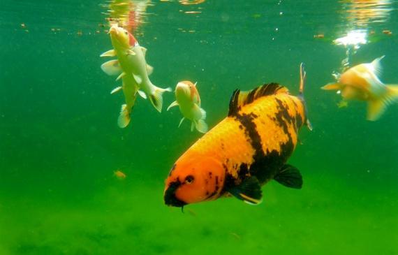 Koi gartenteich blog aquapro2000 for Wassertiere teich