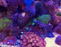Interzoo DeJong Korallen