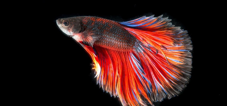Kampffisch Betta splendens