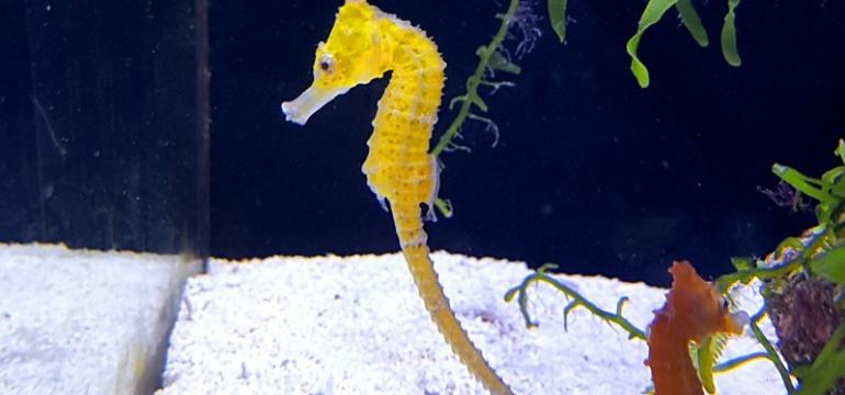 Seepferdchen Hippocampus kuda