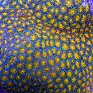 LPS Koralle
