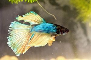 Kampffisch Halfmoon Blau-Gelb